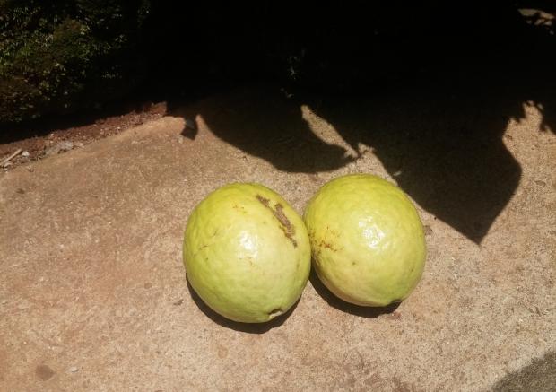 Guava uganda