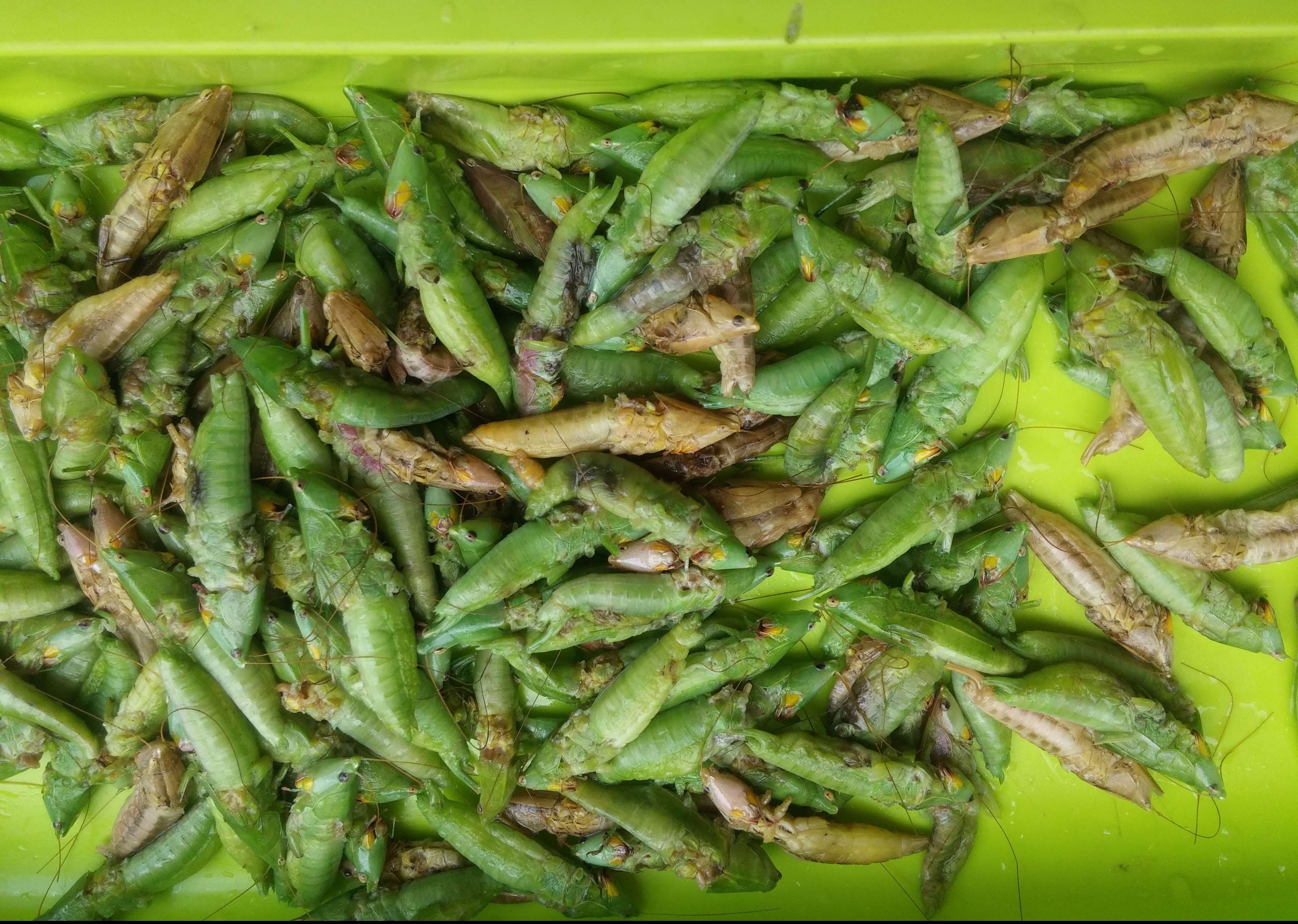nsenene, grasshoppers, 4foodssakeeat.com, uganda